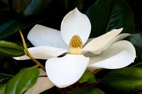 magnolia tree white flowers white magnolia you are divine