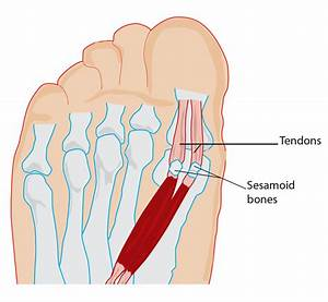 Seasmoid Bone Anatomy
