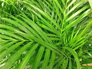 Palme Gelbe Blätter : areca palme bekommt braune bl tter woran kann 39 s liegen ~ Lizthompson.info Haus und Dekorationen
