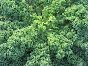 green plants how to eat kale 4 easy ways to really enjoy it with