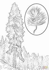 Pine Coloring Tree Pages Ponderosa Trees Printable Realistic Drawing Template Leaves Supercoloring Designlooter Drawings 1440px 99kb 1020 Recommended Sketch Sosna sketch template