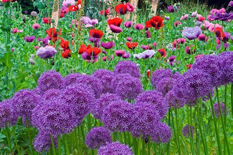 pictures of alliums linda cochran s garden alliums