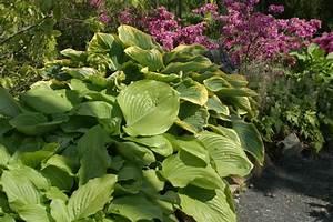 Schattenpflanzen Garten Winterhart : schattenpflanzen pflanzen f r schattige standorte und den schattengarten ~ Sanjose-hotels-ca.com Haus und Dekorationen