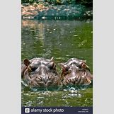 Full Grown Pygmy Elephant | 866 x 1390 jpeg 245kB