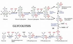 Difference Between Glycolysis and Gluconeogenesis ...