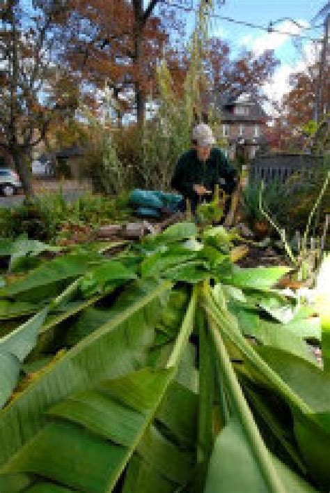 banana trees  survive    canadian winter