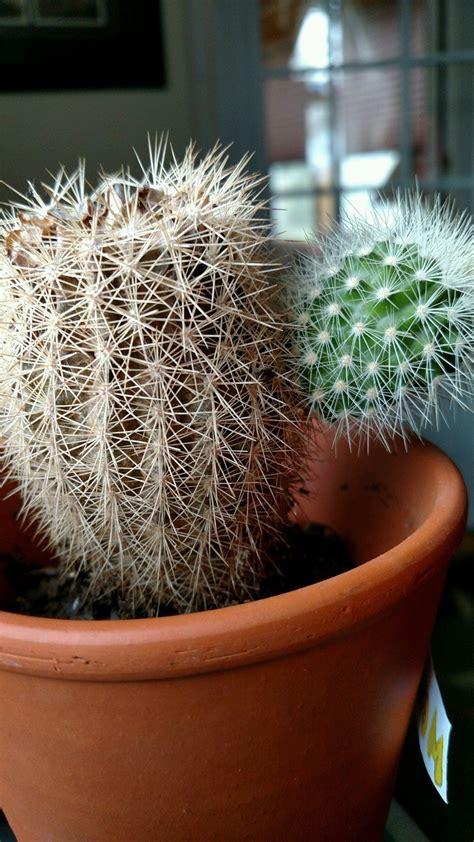 My (dead?) cactus.... had a baby? : cactus