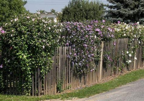 hibiskus hecke schneiden ungiftige heckenpflanzen f 252 r spielpl 228 tze kinderg 228 rten