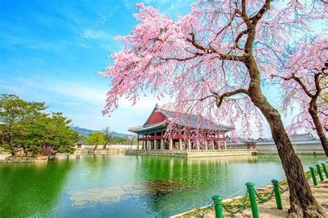 gyeongbokgung palace  fiori  ciliegio  primavera