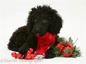 Dog: Black Miniature Poodle at Christmas photo WP12632