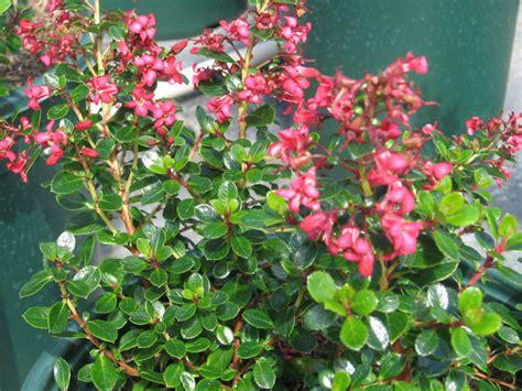evergreen shrub with pink flowers pin escallonia pink princess port kells nurseries plant on pinterest