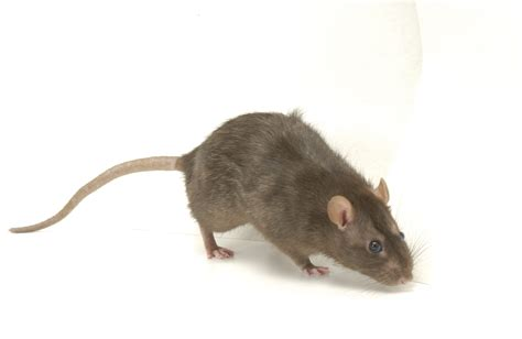 pictures of rats rats