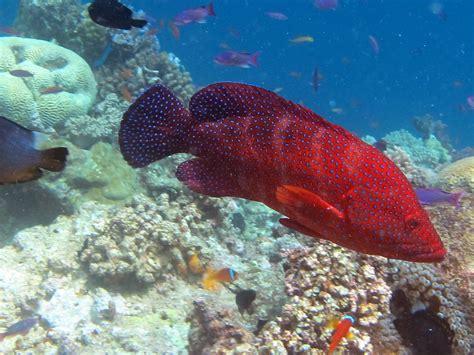 reef grouper sangeeta habitat hide looking under diving passage gau wcs