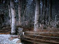 Birch Tree Winter Scenes