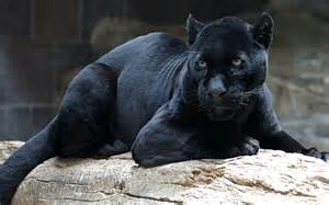 black panther cat black panther hd wallpaper and background 1920x1200