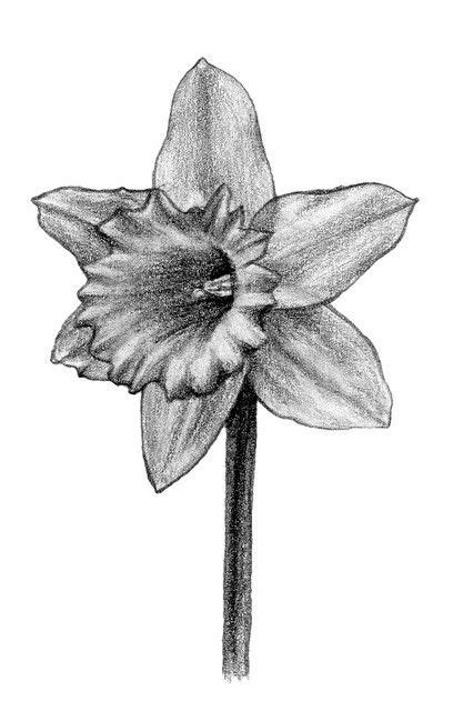Daffodil Drawings Black and White | Tattoos in 2019 | Flower tattoo drawings, Tattoo sketches