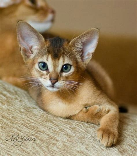 45 Photos Of Sweet Abyssinian Cat Golfiancom