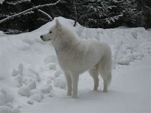 65 Very Beautiful White Siberian Husky Dog Pictures And Images