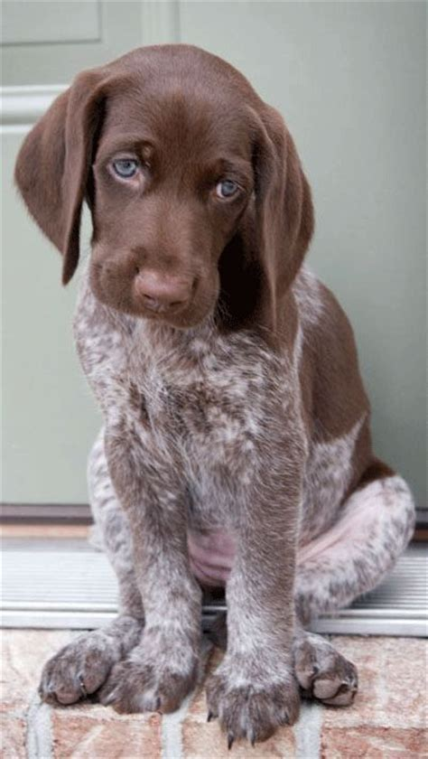 german shorthaired pointer excessive shedding 25 best ideas about haired dogs on