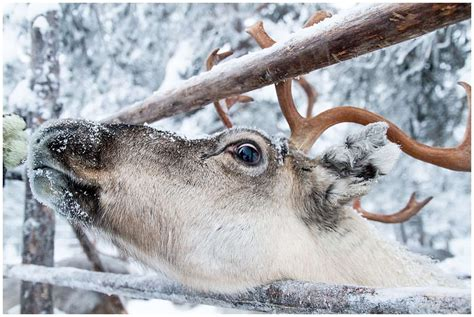 reindeer lapland finland snow friends winter things rudolph insidethetravellab visiting