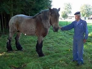 Pelt - De Charme Van Het Belgisch Trekpaard