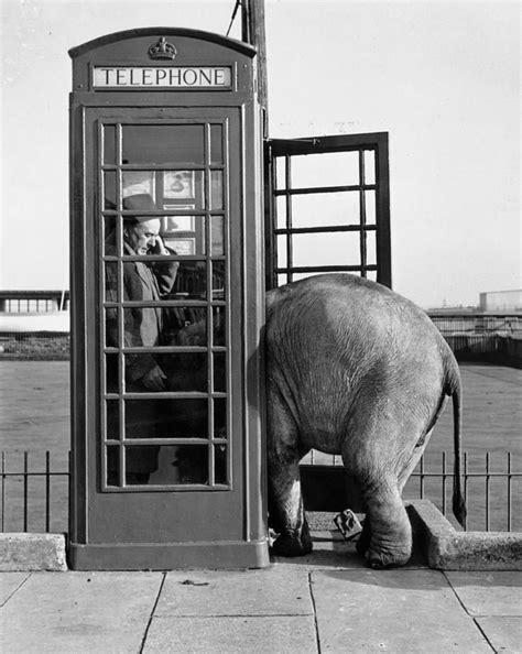trunk call  john drysdale wild animals photography