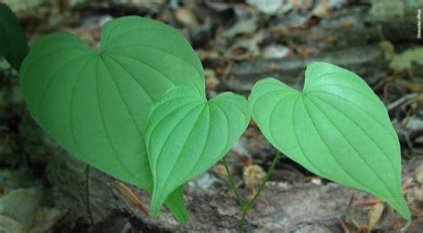 monterey bay spice  wild yam root