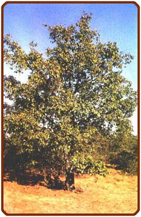 myanmar medicinal plant db
