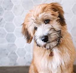 haircuts for wheaten terriers newhairstylesformen2014