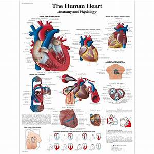The human heart Chart | Anatomy and Physiology ...