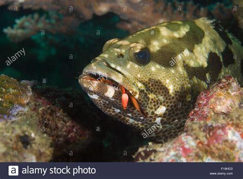 shrimp epinephelus sp grouper mantis probably alamy eating