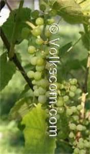 Pockenmilbe Wein Bekämpfung : weinrebeim garten weintrauben beeren und ~ Lizthompson.info Haus und Dekorationen