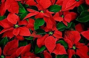 Come conservare la stella di Natale VerdeBlog