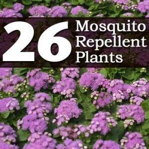 mosquito resistant plants 26 mosquito repellent plants gardening outside pinterest mosquitoes and plants