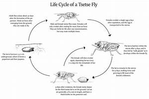 Tsetse Fly Life Cycle By Cloudclipper On Deviantart