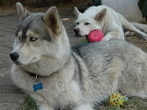 Siberian Husky Timber Wolf
