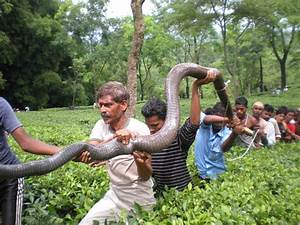 Largest and the Deadliest | King Cobra ~ Go4Pix - Funniest ...
