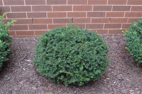 yew bush yew gammon s garden center landscape nursery