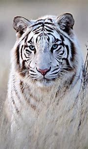 White Siberian Tiger! | Animals | Pinterest
