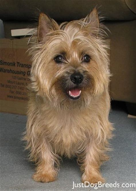 Cairn Terrier Shed Hair by Large Breeds That Don T Shed 3 Breeds Picture