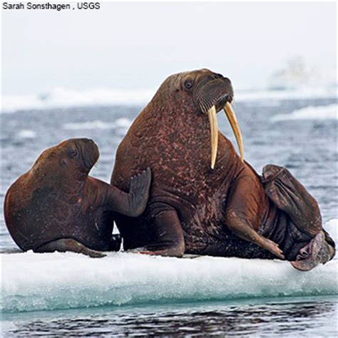 Walrus Vs Elephant Seal by Walrus Vs Elephant Seal Size