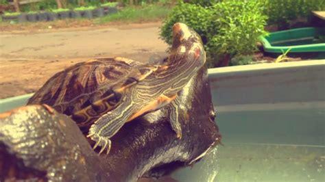 Kura kura brazil berjemur - YouTube