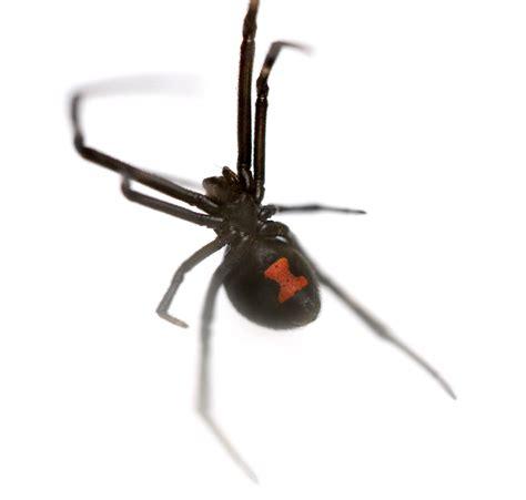 Black Widow Spider Latrodectus Mactans Antivenin
