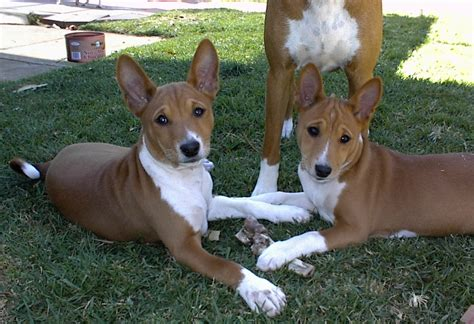 do basenji mixes shed basenji pictures diet cycle facts