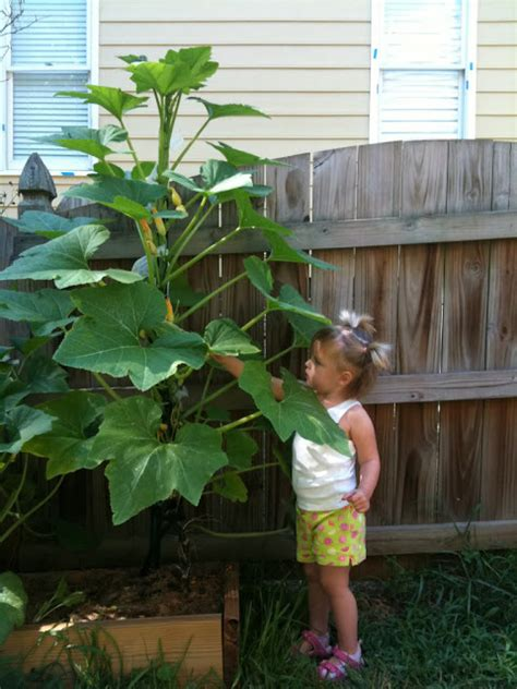 Vertical Gardening Zucchini by Growing Squash And Zucchini Plants Vertically