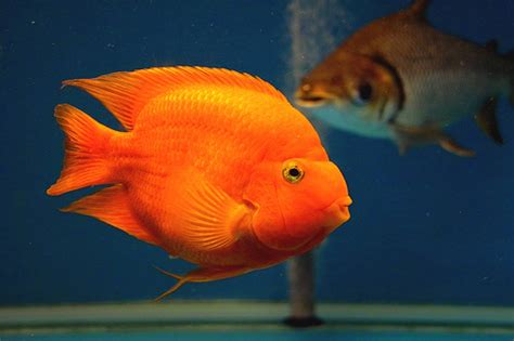 blood parrot fish blood parrot fish flickr photo sharing