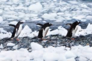 Wildlife Penguins Antarctica