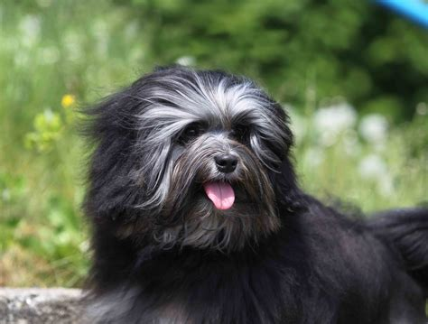 Although this dog may be related to the bichon frise, the löwchen's history remains obscure. Best Löwchen Dog Food - Spot and Tango