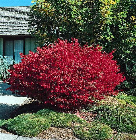 burning bush burning bush euonymus alatus shrub seeds ebay