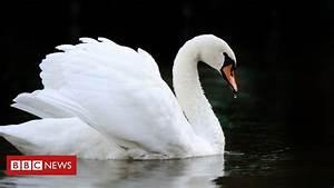 Windsor Swans  Bird Flu Confirmed In Queen U0026 39 S Flock